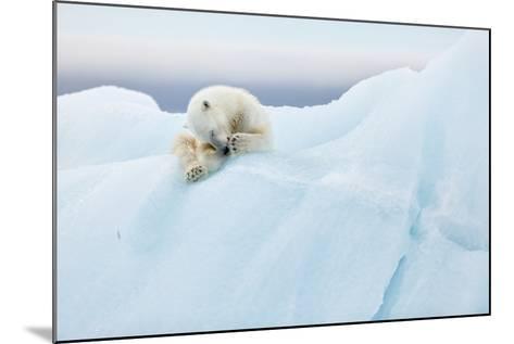 Polar Bear Grooming-Joan Gil Raga-Mounted Photographic Print