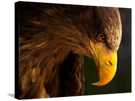 Eagle Pursues Prey-Adriana K.H.-Stretched Canvas Print