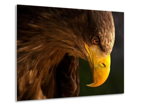 Eagle Pursues Prey-Adriana K.H.-Metal Print