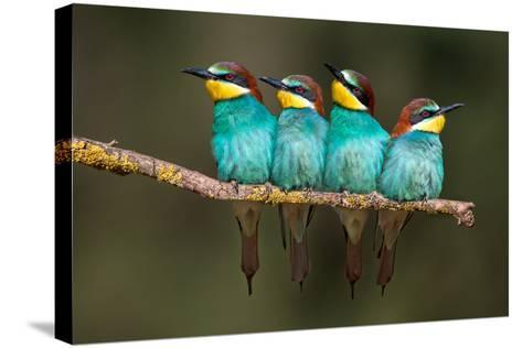 Bee-Eater Resting-Xavier Ortega-Stretched Canvas Print