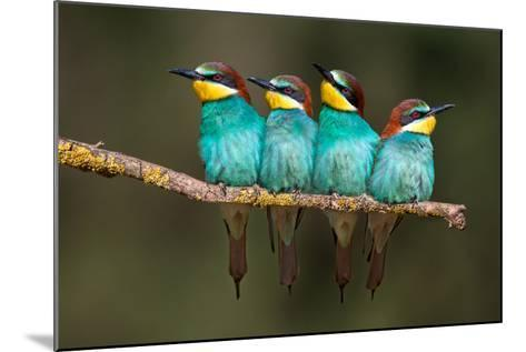 Bee-Eater Resting-Xavier Ortega-Mounted Photographic Print