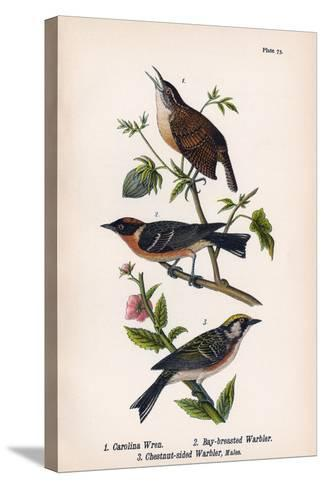 Vintage Birds: Wrens and Warblers, Plate 73-Piddix-Stretched Canvas Print