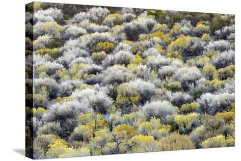 Rabbit Brush And Silver Sage Bloom In Late Season Color Along The Shores Of Mono Lake-Jay Goodrich-Stretched Canvas Print