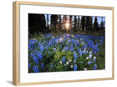 The Sun Breaks Through Trees To Backlight A Meadow Of Wildflowers In Mount Rainier NP, Washington-Jay Goodrich-Framed Art Print