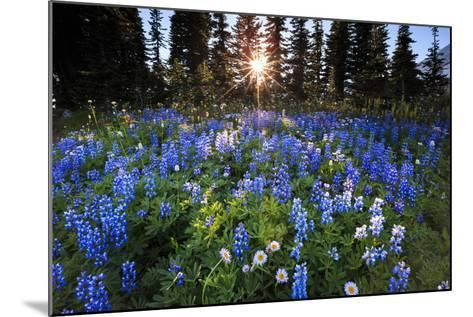 The Sun Breaks Through Trees To Backlight A Meadow Of Wildflowers In Mount Rainier NP, Washington-Jay Goodrich-Mounted Photographic Print