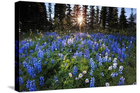 The Sun Breaks Through Trees To Backlight A Meadow Of Wildflowers In Mount Rainier NP, Washington-Jay Goodrich-Stretched Canvas Print