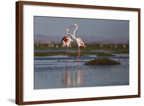 A Pair Of Greater Flamingoes Strut And Posture Close To Pelican Point, In Walvis Bay-Karine Aigner-Framed Art Print