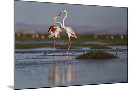 A Pair Of Greater Flamingoes Strut And Posture Close To Pelican Point, In Walvis Bay-Karine Aigner-Mounted Photographic Print