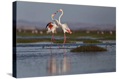 A Pair Of Greater Flamingoes Strut And Posture Close To Pelican Point, In Walvis Bay-Karine Aigner-Stretched Canvas Print