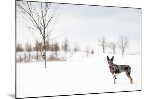 An Australian Shepherd, Cattle Dog Mix Pup Takes A Walk In The Snow-Karine Aigner-Mounted Photographic Print