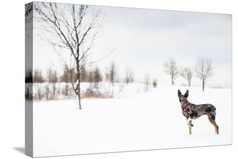 An Australian Shepherd, Cattle Dog Mix Pup Takes A Walk In The Snow-Karine Aigner-Stretched Canvas Print