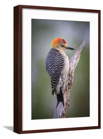 Perching Flicker On A South Texas Ranch Durning Wet Spring Weather-Jay Goodrich-Framed Art Print