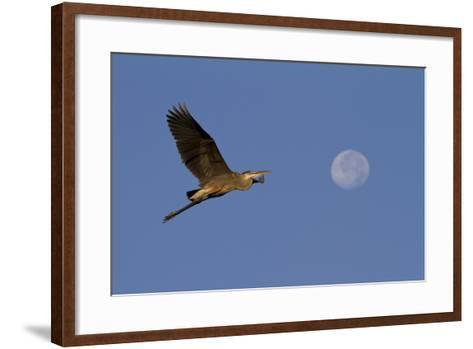 A Great Gray Heron Flies By A Morning Moon In The Blackwater Wildlife Refuge In Cambridge, MD-Karine Aigner-Framed Art Print