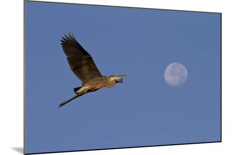 A Great Gray Heron Flies By A Morning Moon In The Blackwater Wildlife Refuge In Cambridge, MD-Karine Aigner-Mounted Photographic Print