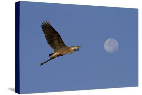 A Great Gray Heron Flies By A Morning Moon In The Blackwater Wildlife Refuge In Cambridge, MD-Karine Aigner-Stretched Canvas Print