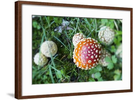 Amanita Mushroom, Mt. Rainier National Park, WA-Justin Bailie-Framed Art Print