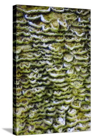 Green Bacteria Form Stepping Patterns, Minerals Cascade Out, Mammoth Hot Springs, Yellowstone NP-Jay Goodrich-Stretched Canvas Print