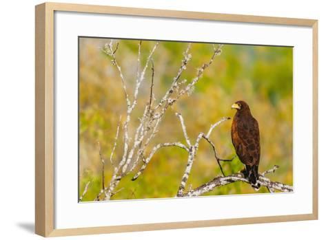 Harris Hawk Perched On Dead Tree Branch On South Texas Ranch-Jay Goodrich-Framed Art Print