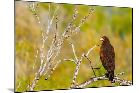 Harris Hawk Perched On Dead Tree Branch On South Texas Ranch-Jay Goodrich-Mounted Photographic Print