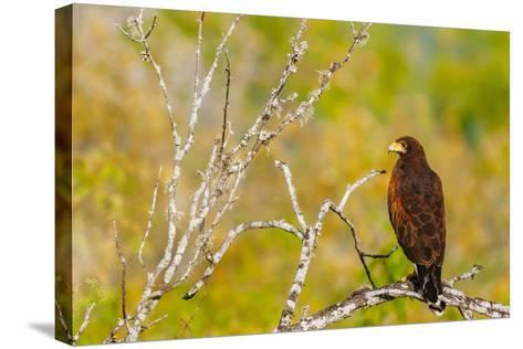 Harris Hawk Perched On Dead Tree Branch On South Texas Ranch-Jay Goodrich-Stretched Canvas Print