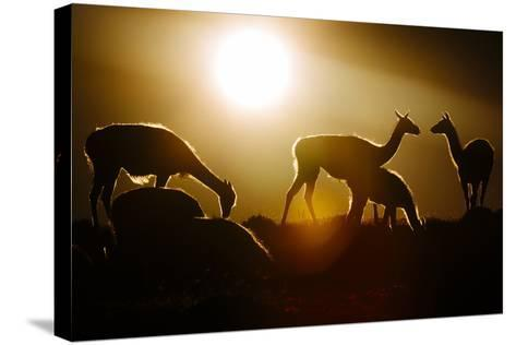 Backlit Guanaco (Lama Guanicoe) Torres Del Paine National Park, Patagonia, Chile-Jay Goodrich-Stretched Canvas Print