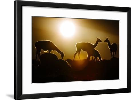 Backlit Guanaco (Lama Guanicoe) Torres Del Paine National Park, Patagonia, Chile-Jay Goodrich-Framed Art Print