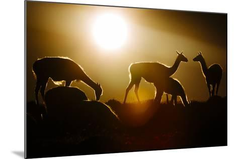 Backlit Guanaco (Lama Guanicoe) Torres Del Paine National Park, Patagonia, Chile-Jay Goodrich-Mounted Photographic Print