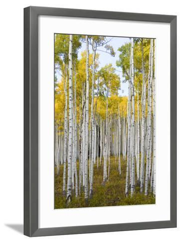 Aspens During Autumn Along The Road In Lime Park Colorado-Jay Goodrich-Framed Art Print