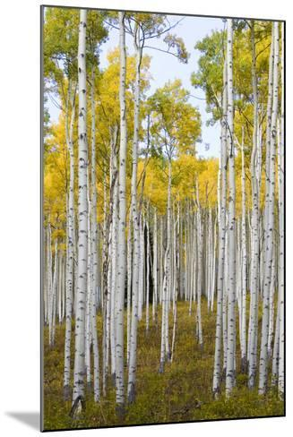 Aspens During Autumn Along The Road In Lime Park Colorado-Jay Goodrich-Mounted Photographic Print