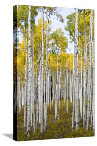 Aspens During Autumn Along The Road In Lime Park Colorado-Jay Goodrich-Stretched Canvas Print