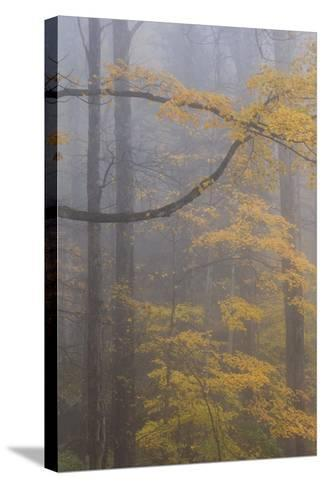 Autumn Colored Trees In Great Smoky Mountains National Park-Jay Goodrich-Stretched Canvas Print