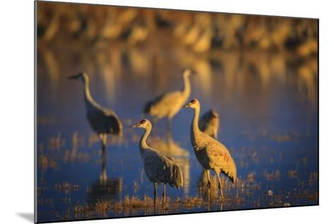 The Sandhill Cranes Of Bosque Del Apache National Wildlife Refuge In New Mexico At Sunset-Jay Goodrich-Mounted Photographic Print