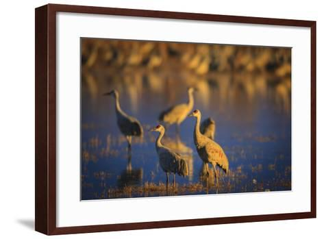 The Sandhill Cranes Of Bosque Del Apache National Wildlife Refuge In New Mexico At Sunset-Jay Goodrich-Framed Art Print