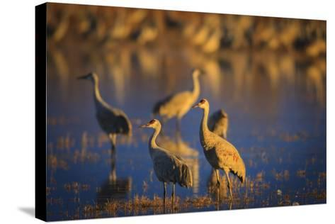 The Sandhill Cranes Of Bosque Del Apache National Wildlife Refuge In New Mexico At Sunset-Jay Goodrich-Stretched Canvas Print