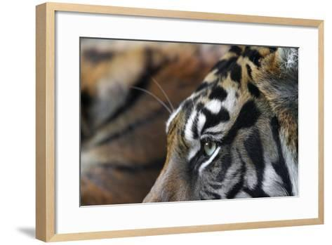 An Extreme Closeup Of A Tiger's Eye And The Pattern On Its Face-Karine Aigner-Framed Art Print