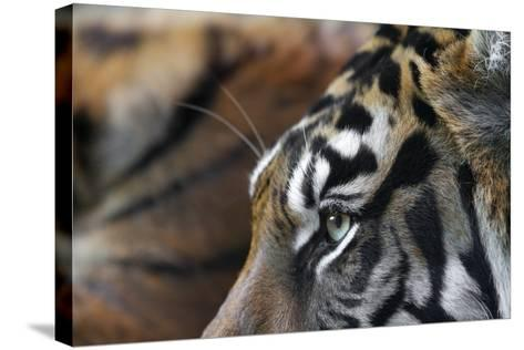 An Extreme Closeup Of A Tiger's Eye And The Pattern On Its Face-Karine Aigner-Stretched Canvas Print