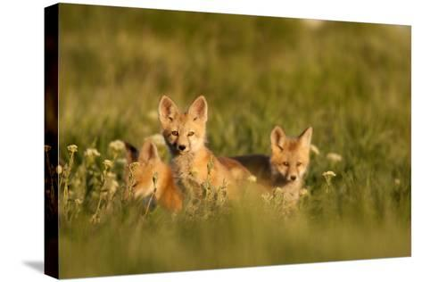 A Group Of Red Fox Kits Playing At Sunset-Jay Goodrich-Stretched Canvas Print