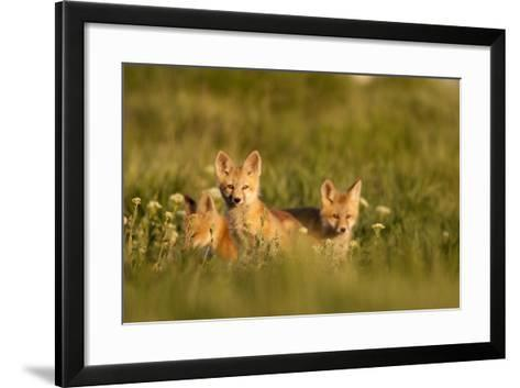A Group Of Red Fox Kits Playing At Sunset-Jay Goodrich-Framed Art Print