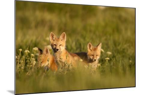 A Group Of Red Fox Kits Playing At Sunset-Jay Goodrich-Mounted Photographic Print