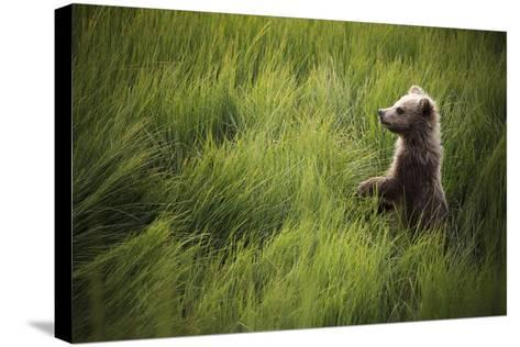 A Cub Stands When Startled By A River Otter Near The Coast Of Lake Clark National Park In Alaska-Jay Goodrich-Stretched Canvas Print