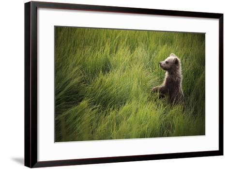 A Cub Stands When Startled By A River Otter Near The Coast Of Lake Clark National Park In Alaska-Jay Goodrich-Framed Art Print