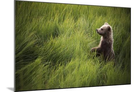 A Cub Stands When Startled By A River Otter Near The Coast Of Lake Clark National Park In Alaska-Jay Goodrich-Mounted Photographic Print