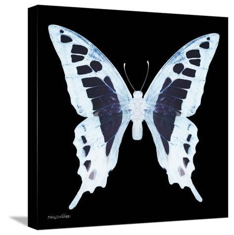 Miss Butterfly Cloanthus Sq - X-Ray Black Edition-Philippe Hugonnard-Stretched Canvas Print