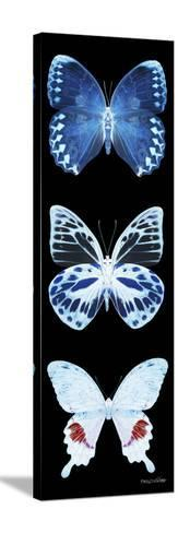 Miss Butterfly X-Ray Black Pano II-Philippe Hugonnard-Stretched Canvas Print