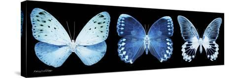 Miss Butterfly X-Ray Panoramic Black-Philippe Hugonnard-Stretched Canvas Print