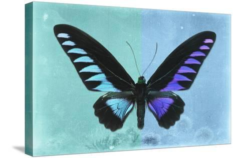 Miss Butterfly Brookiana Profil - Turquoise & Skyblue-Philippe Hugonnard-Stretched Canvas Print