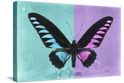 Miss Butterfly Brookiana Profil - Turquoise & Mauve-Philippe Hugonnard-Stretched Canvas Print