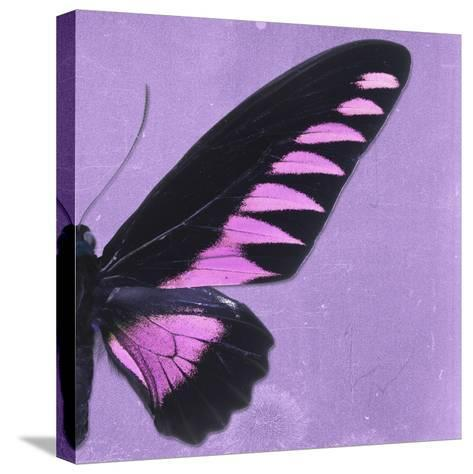 Miss Butterfly Brookiana Sq - Mauve-Philippe Hugonnard-Stretched Canvas Print