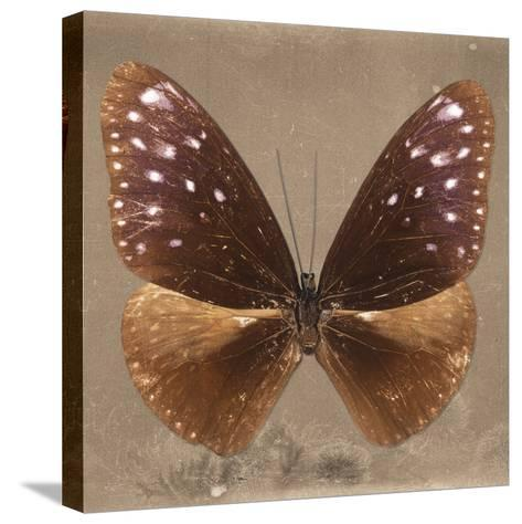 Miss Butterfly Euploea Sq - Caramel-Philippe Hugonnard-Stretched Canvas Print