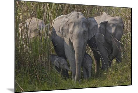 An Indian Elephant Family In Kaziranga National Park-Steve Winter-Mounted Photographic Print